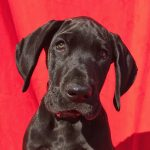 9 week old great dane pup for sale